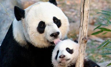 Giant-panda-Cub-Tai-Shan--010
